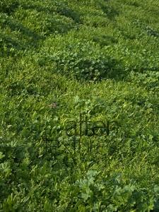 Grass of Mediterranean